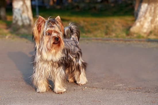 Yorkshire Terrier long haired dog breed