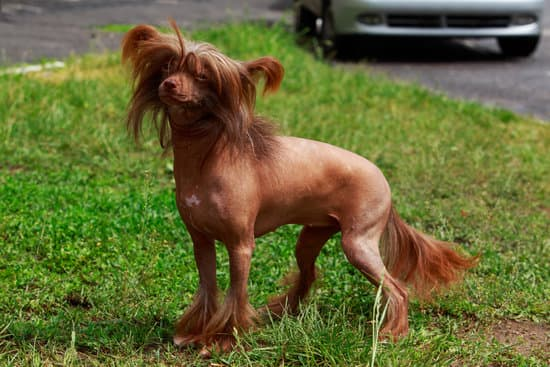 Chinese Crested breed of small hypoallergenic dog
