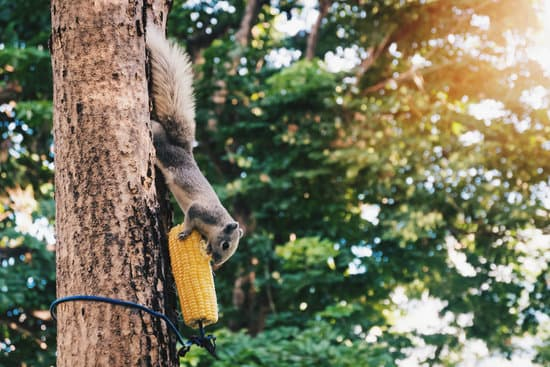 A grey squirrel eating corn from a tree