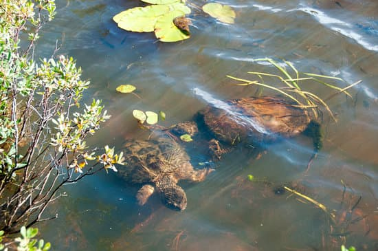 snapping turtle brumate in water