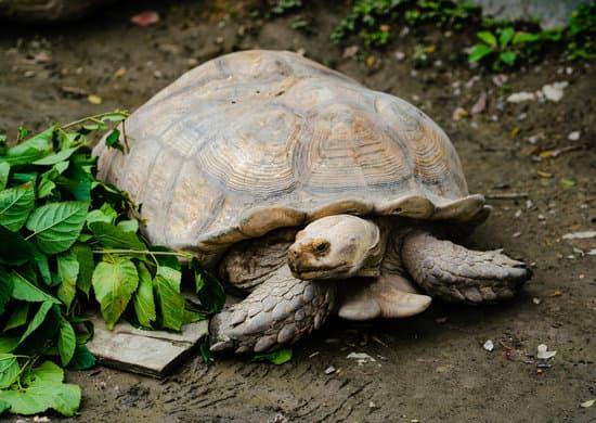 Do Sulcata Tortoise Eat Fruits?
