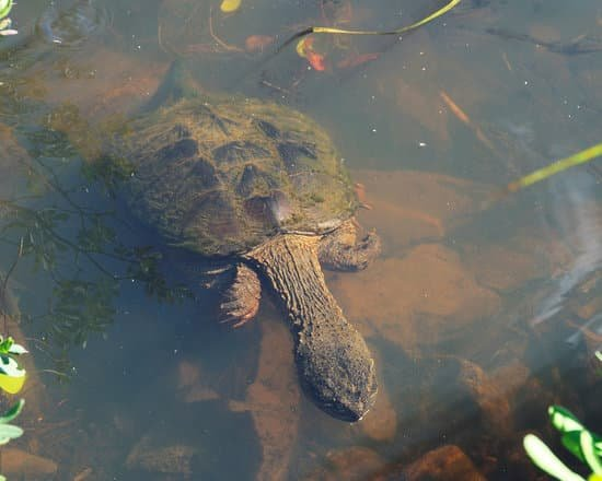 snapping turtles long neck