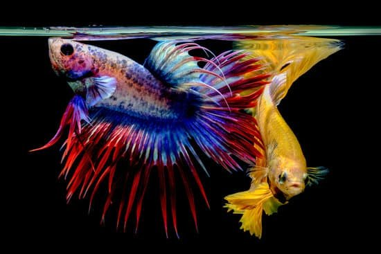 Your betta fish can lost its color when sick