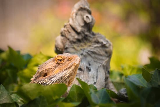 Bearded Dragon Dying Signs