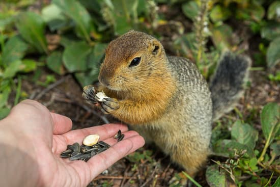 Hand feeding to build relationship with wild squirrels