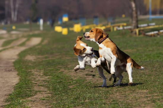 Two Beagles playing in the field