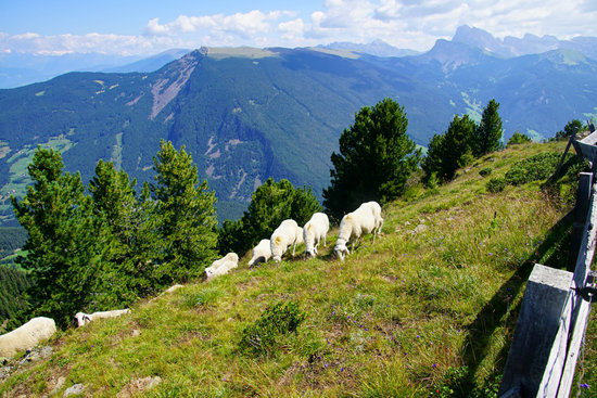 Sheep Grazing High on the Hills of the Dolomites