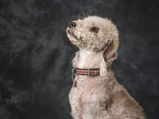 Bedlington Terrier breed of curly haired dog
