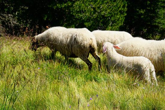 Sheep Grazing High on the Hills