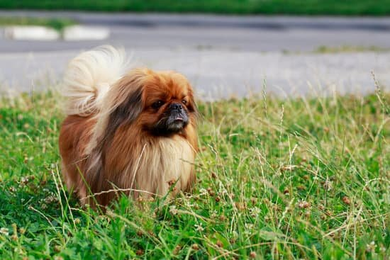 Pekingese long haired dog breed