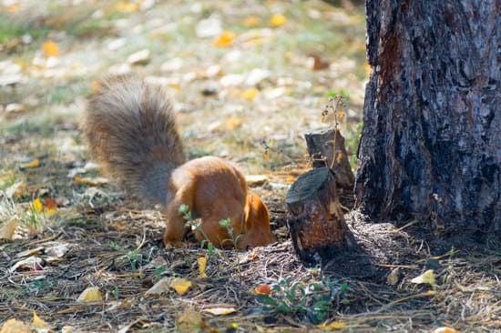 ground squirrel bury nuts against winter