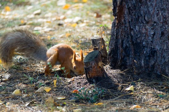 Ground squirrel stashing some nuts in the ground against winter