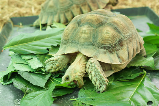 What Greens Can Sulcata Tortoises Eat?