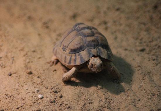 Small Pet Tortoise Breeds