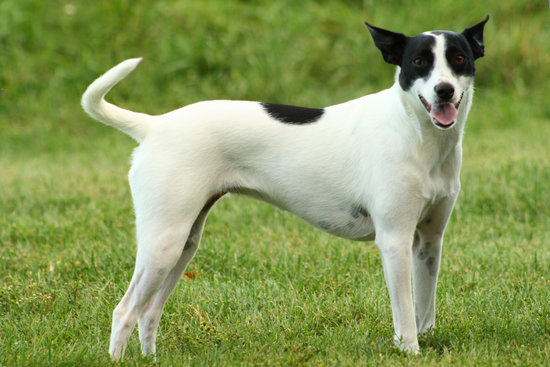 Rat Terrier breed of small guard dog