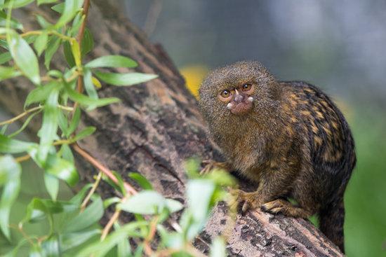Pygmy Marmoset breed of small monkey