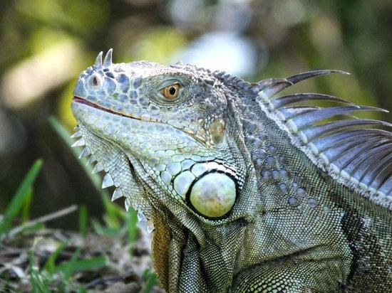 Green iguanas can eat fruits