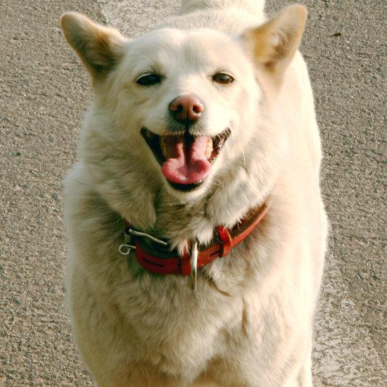 Asian dog: Hokkaido
