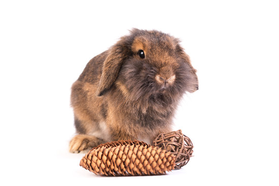 A French Lop Rabbit breed