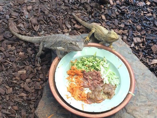 bearded dragons can eat carrots