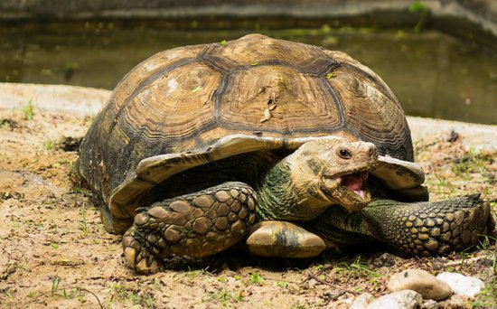 A startled sulcata tortoise giving out a hissing sound