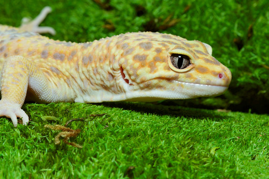 Reasons Why Leopard Geckos Are Good Pets