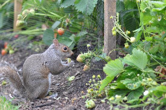 Squirrel eating vegetables in the garden