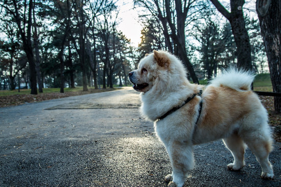 What Are the Initial Expenses to Own a Chow?