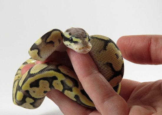 50 Baby Ball Python Names
