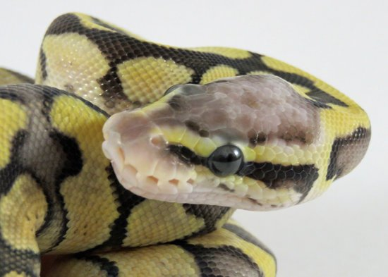 5 Reasons Your Ball Pythons Will Stop Growing Before Reaching Adult Size