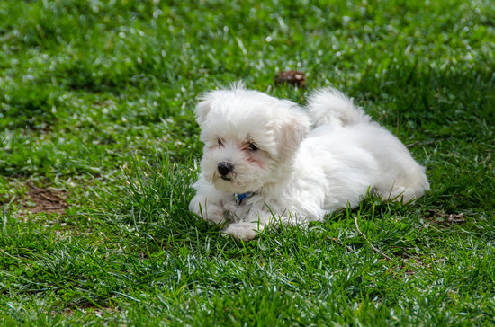 Maltese breed of small hypoallergenic dog
