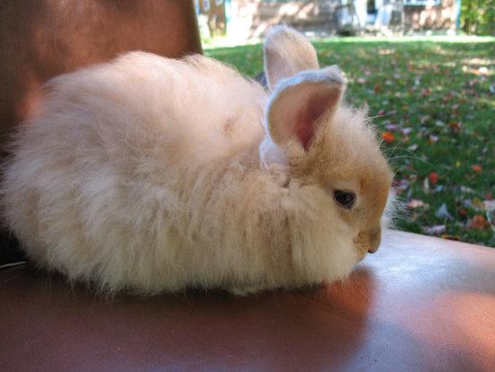 An English Angora Rabbit