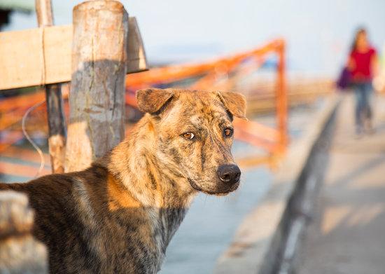 Phu Quoc Ridgeback Dog Breed
