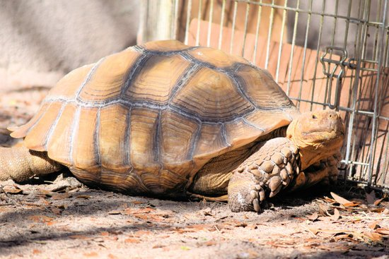 How Much Do Sulcata Tortoises Cost? between $50 and $200.