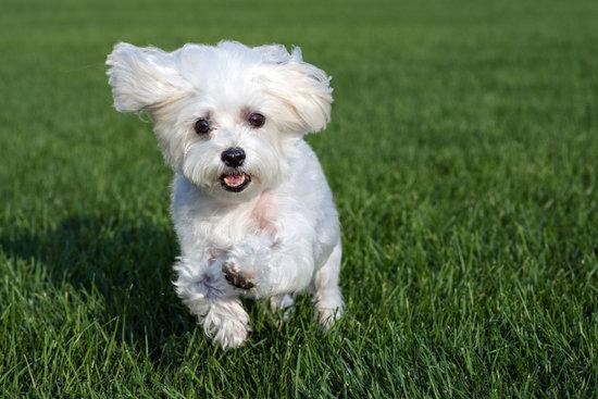 A Maltese small dog