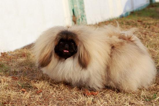 Pekingese breed of small hairy dog