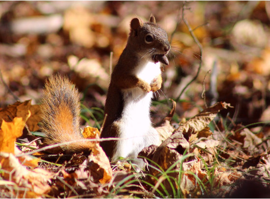 A squirrel gathering nuts against winter