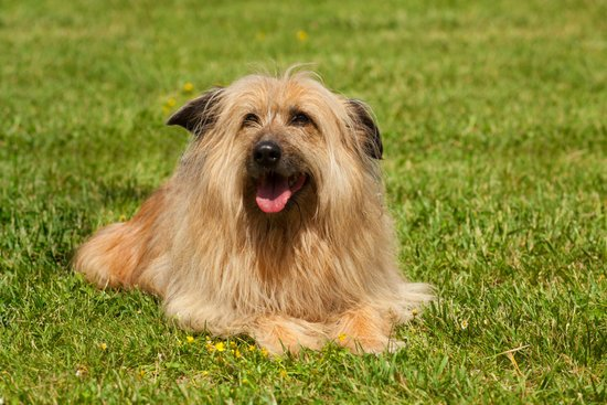 Lhasa Apso breed of small guard dog