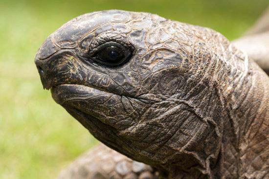 Sulcata tortoise eye