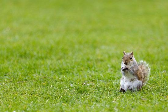 Squirrels can kill mice