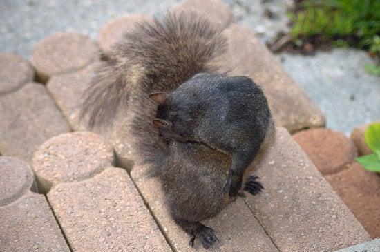 Bathe your squirrel Can help avoid fleas