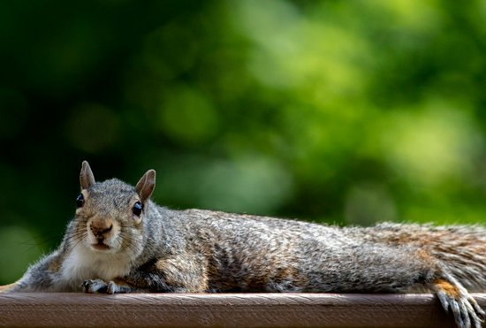why do squirrels lay flat