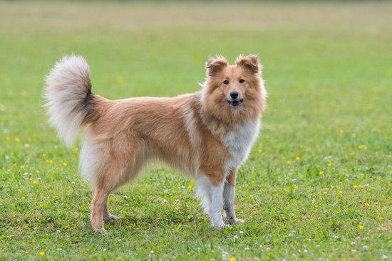 Shetland Sheepdog small smart dog