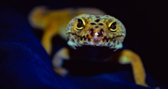 Are Leopard Geckos Poisonous?