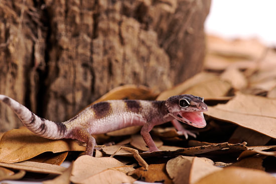 some leopard geckos may scream because they feel scared or threatened