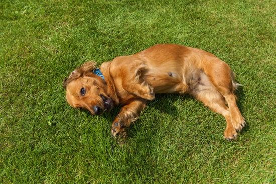 An Affen Spaniel mixed breed dog