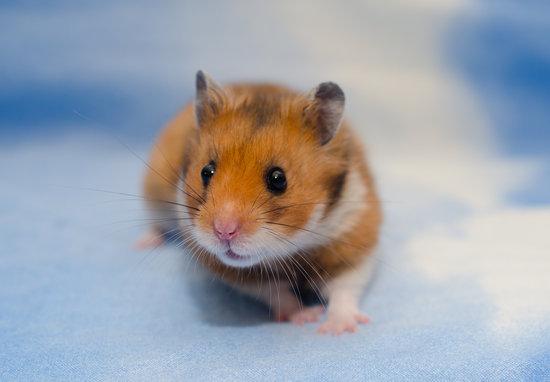 Syrian (Golden) Hamster
