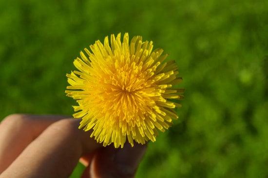 Are Dandelions Nutritious?