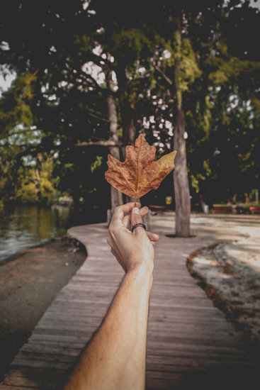 Person Holding Brown Dried Maple Leaf