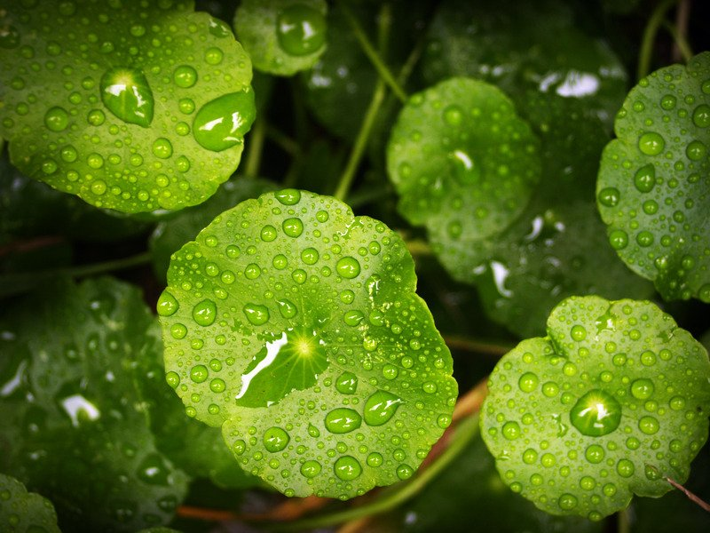 Drops of rain resting on leaves on a forest floor while raining.